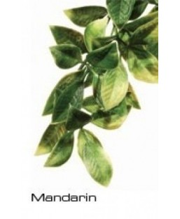 Plante à suspendre (Mandarin)